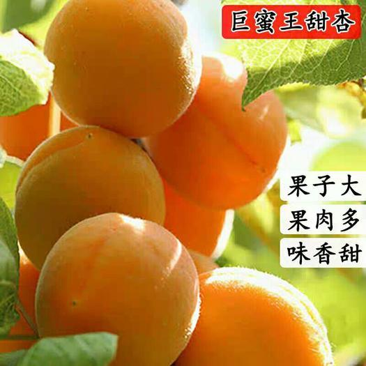 杏树苗嫁接 正宗巨蜜王杏子树苗 当年结果 南方北方种植盆栽