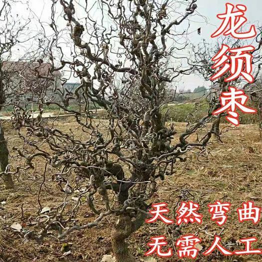 果树嫁接苗龙须枣树苗盘龙枣树苗南北庭院种植当年结果观赏价值