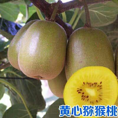 果树苗黄心猕猴桃树苗黄心华优奇异果树苗黄金果猕猴桃苗当年结