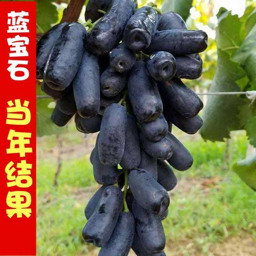 蓝宝石葡萄苗 嫁接苗 品种齐全 南北方均可种植 包成活包品种