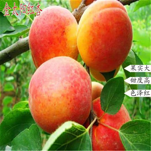 金太阳杏树苗 嫁接苗 品种齐全 南北方均可种植 包成活包品种