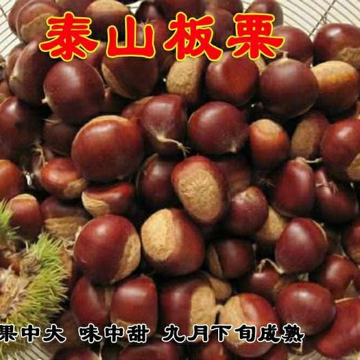 泰山板栗苗 嫁接苗 品种齐全 南北方均可种植 包成活包品种