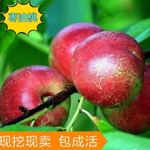 枣油桃树苗  优质苗  基地直发  保真包活 全国包邮