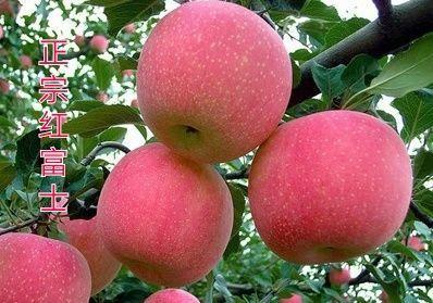 红富士苹果苗 苹果苗 正宗嫁接烟富八号苹果苗 包品种 全国包邮