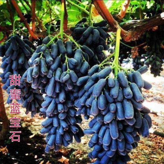 葡萄苗 正宗嫁接蓝宝石葡萄苗 签合同 包品种 包成活