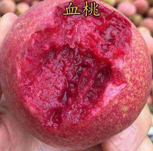 血桃树苗 优质苗 基地直发 保纯度包成活 全国包邮