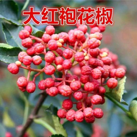 大红袍花椒苗 保证纯度 成活率高 包成活 南北均可种植 基地现挖直销