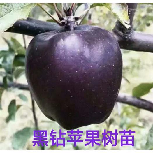 黑钻苹果树苗 嫁接苗 品种齐全 南北方均可种植 包成活包品种