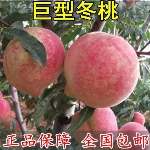巨型冬桃苗 嫁接桃树苗 晚熟冬桃 个大脆甜 当年结果苗 包