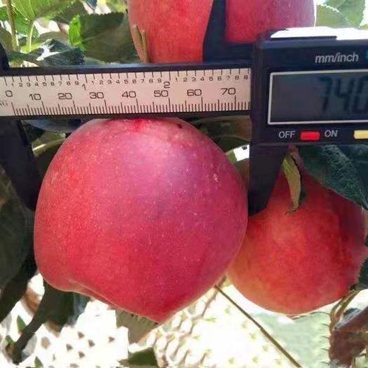 新品种鲁丽苹果苗,产量高,嫁接苗,包成活,死亡苗免费补发