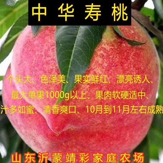 中华寿桃苗 嫁接品种桃树苗 南北方种植嫁接桃树苗 中华寿桃