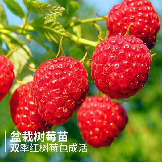 树莓苗红树莓黄树莓黑树莓苗庭院盆栽地栽南北方当年结果覆盆子
