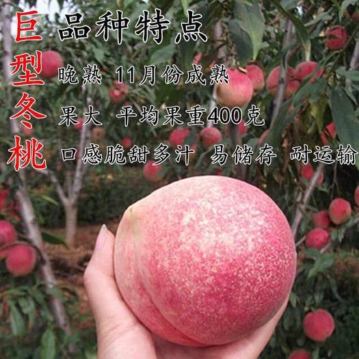 晚熟桃树苗 巨型冬桃苗 雪桃 冬桃 中华桃南北方种植