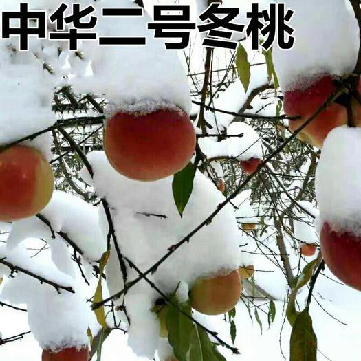 桃树苗 嫁接桃树树苗 中华二号冬桃 极晚熟冬桃苗 特大冬桃