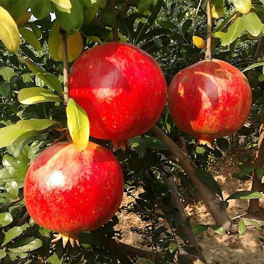 石榴树苗地栽盆栽突尼斯软籽特大庭院南北方种植果树苗石榴树树