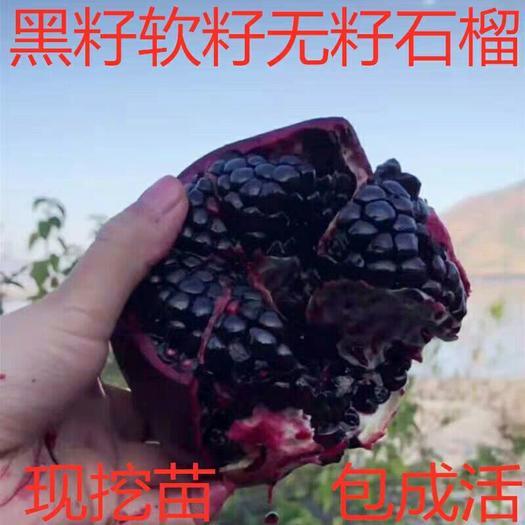 黑籽甜宝石榴苗 大果黑籽甜石榴树苗 软籽石榴果树苗南方北方
