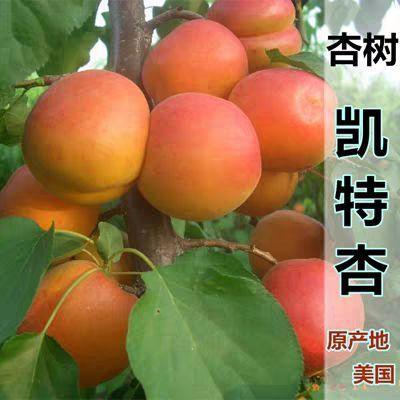 凯特杏树苗 嫁接苗 凯特 十里香杏子树苗南北方种植当年结果