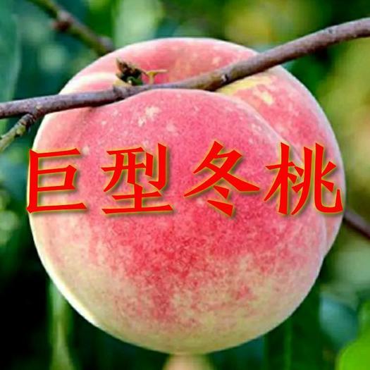 桃树苗 正宗嫁接巨型冬桃苗 基地直销包品种包成活全国包邮