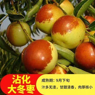 沾化冬枣苗 自育自销 不用怕假苗当年挂果品种保证量大优惠包