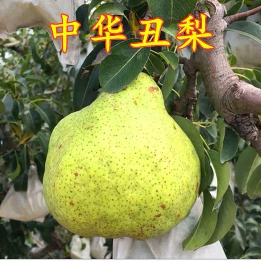 中华丑梨树苗 基地直销包品种包成活下单现挖现发