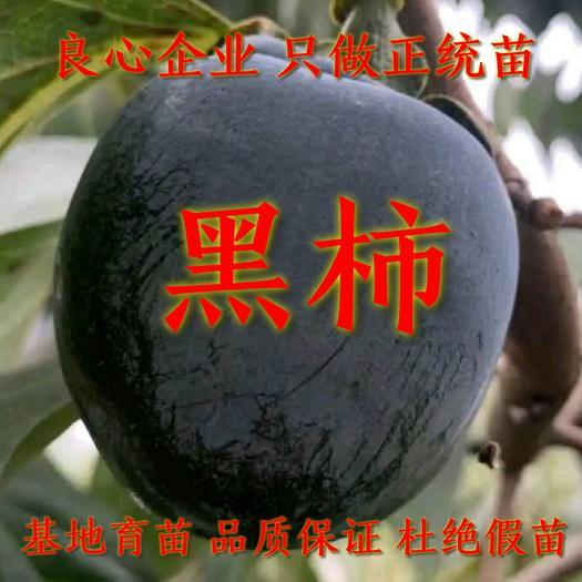 柿子苗 黑柿苗 嫁接柿子苗 基地直发 包成活