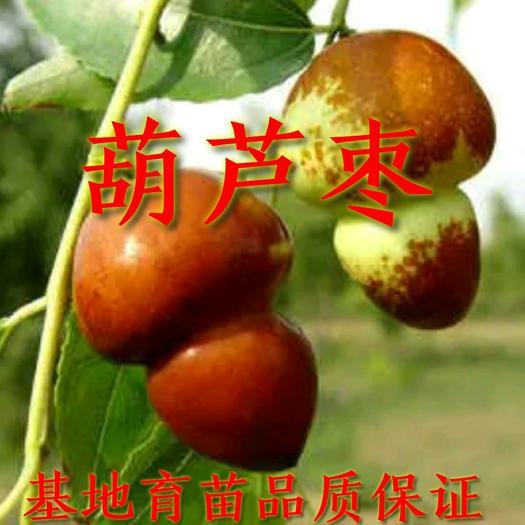 枣树苗 葫芦枣苗 嫁接苗 基地直发 包成活