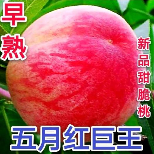 桃树苗 五月红巨王 新品种 全红桃果个大 南北方种植 基直