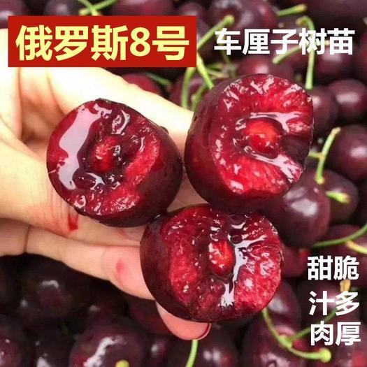 俄罗斯8号樱桃苗 俄罗斯8号樱桃嫁接优质苗盆栽地栽南北方种植现挖现发当年结果苗