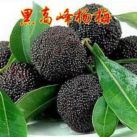 杨梅树苗 黑高峰杨梅树苗 全国保湿发货 保品种 包成活