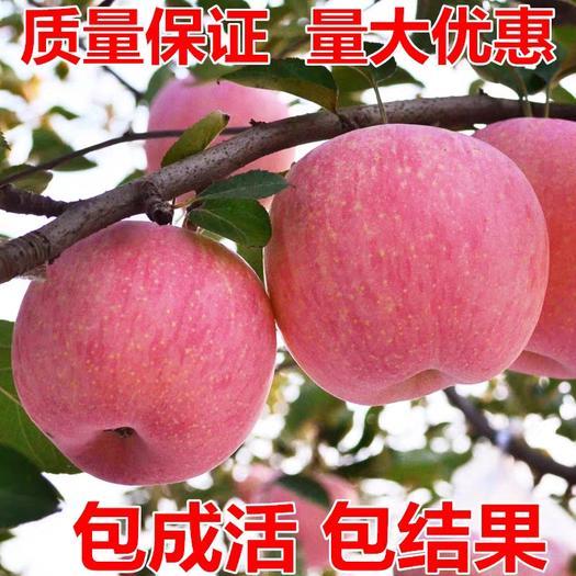 红富士苹果苗 糖心红富士脆甜苹果,树苗嫁接苹果苗。产量高,南北方皆可种植