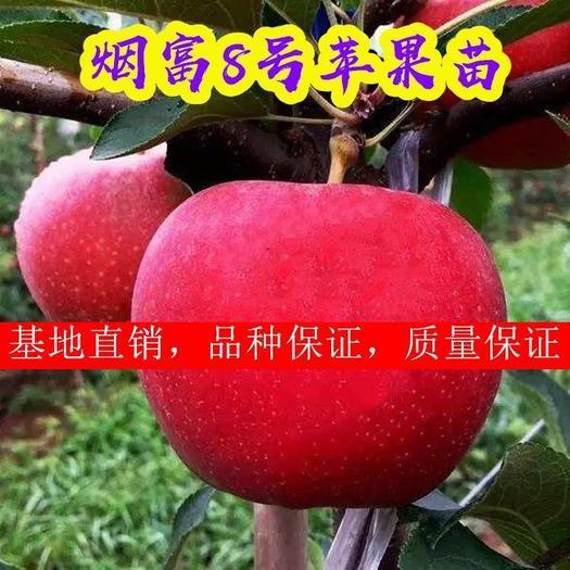 烟富8号苹果树苗 烟富10号,请认准正宗烟富苹果苗!!!