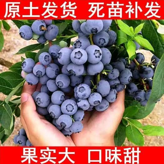 优质蓝莓苗  基地直销 品种多样  兔眼蓝莓 蓝宝石 莱克