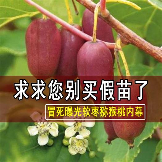 软枣猕猴桃苗 红心软枣猕猴桃,农科院正宗品种,基地直发,可签约,可视频看货