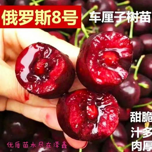 俄罗斯8号樱桃树苗 含香樱桃苗 矮化脱毒嫁接苗 基地直发