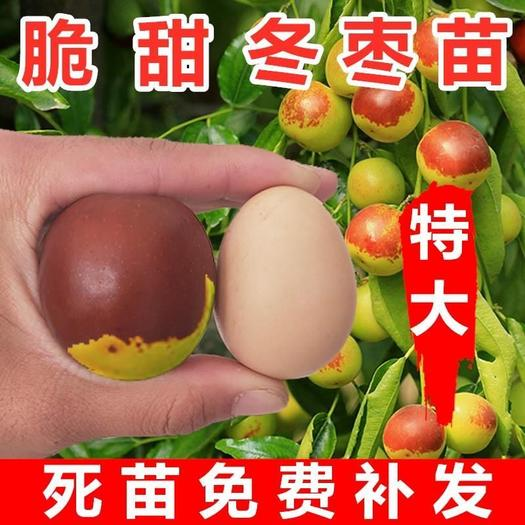 """冬枣树苗 沾化冬枣苗,果实平均重20克,状如苹果,有""""小苹果""""之称。"""