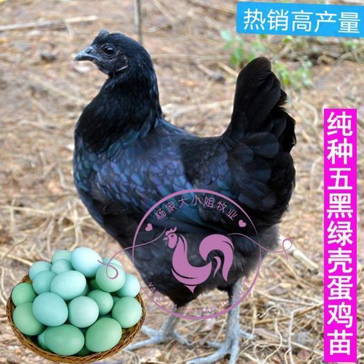 五黑鸡苗五黑绿壳蛋鸡苗孵化场直销价格质量保证