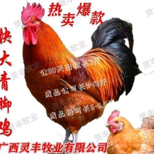(快大青脚麻鸡苗)铁脚麻鸡【有经营许可证】买卖更放心灵丰公司