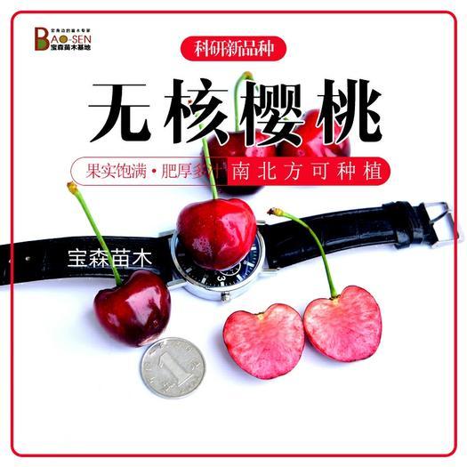 矮化樱桃苗  新品(无核)车厘子苗  矮化车厘子树苗 矮化齐早樱桃苗保品种