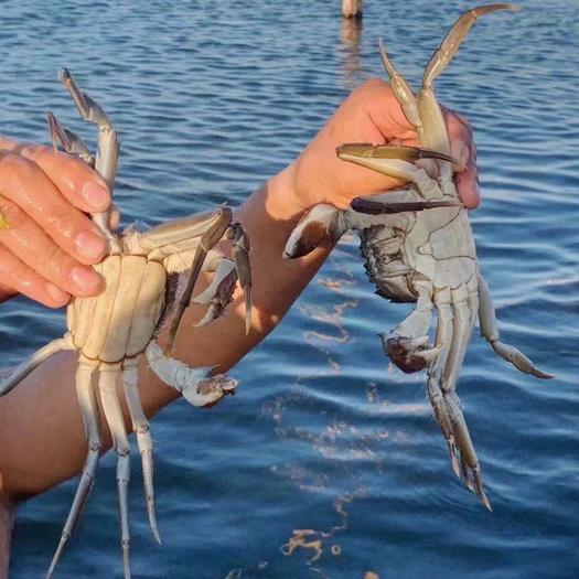 江苏兴化大闸蟹国蟹市场95号建海水产行万亩养殖基地。精品蟹