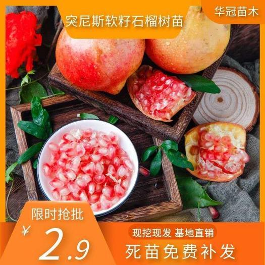突尼斯软籽石榴苗 自产自销 现起现卖 保证质量 保证品种