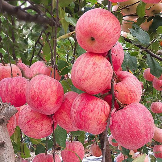 红富士苹果苗 嫁接苗 果实大 甜度高 包品种 包邮