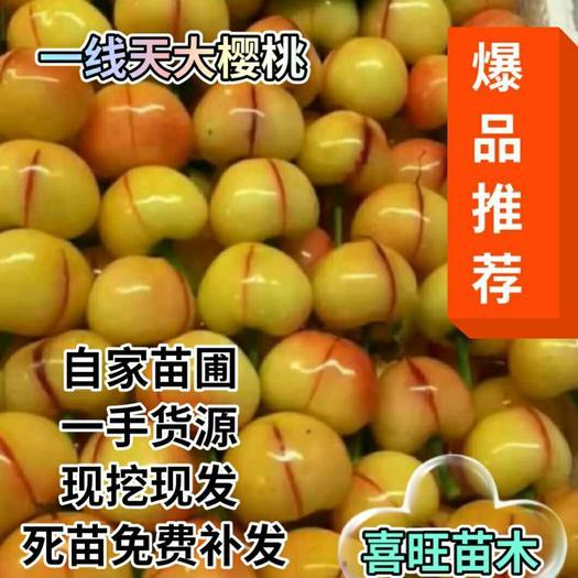 黄蜜樱桃苗  一线天大樱桃苗新品种大甜果自家苗圃南北适宜当年挂果