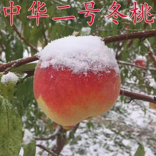 冬桃苗  中华二号冬桃,个头大,产量高,甜度高,脆甜可口,当年结果