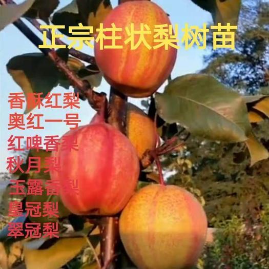 黄冠梨树苗  香酥红梨秋月梨香啤梨奥红一号翠冠梨皇冠梨等十几个品种