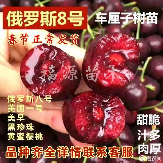 俄罗斯8号樱桃苗  正宗嫁接车厘子 俄罗斯8号车厘子 美国一号 美早樱桃等品种