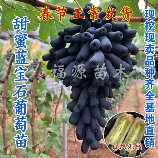 甜蜜蓝宝石葡萄苗 阳光玫瑰葡萄等嫁接葡萄苗 当年结果苗