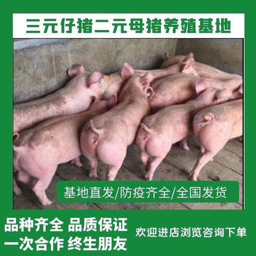 三元仔猪二元母猪湖南长沙仔猪