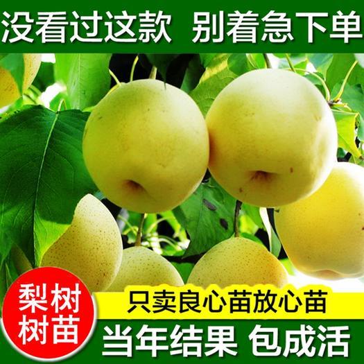 黄冠梨树苗  秋月梨 柱状梨 嫁接梨树苗 果大多汁高产 品种齐全