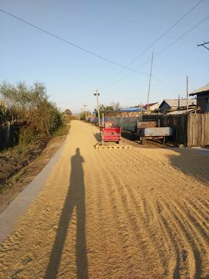 黑龙江省哈尔滨市尚志市黑水稻 晚稻