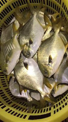 广东潮州饶平县金鲳鱼 人工养殖 1-1.5龙8国际官网官方网站